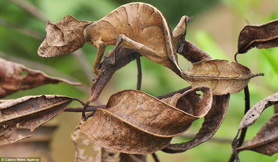 Gecko прячется от хищников в Национальном парке Мадагаскара