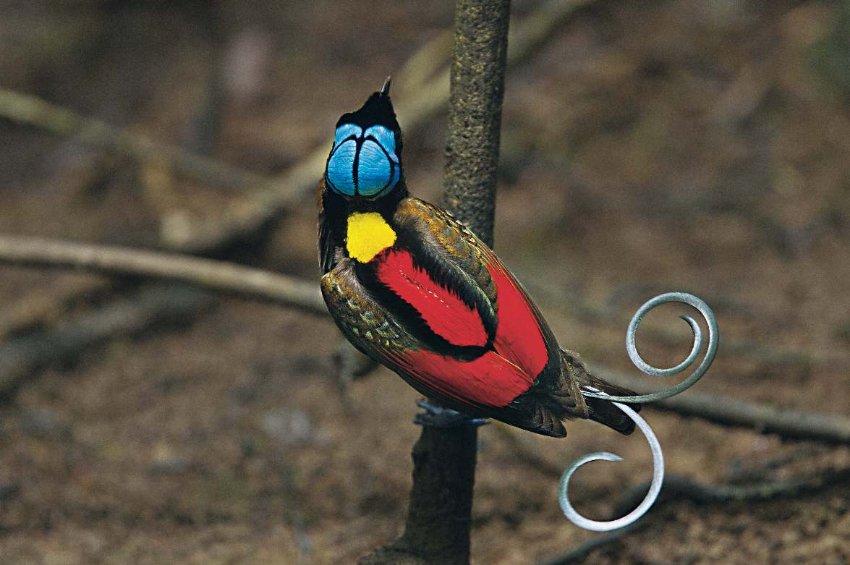 Первый альбом с фотографиями всех видов райских птиц.