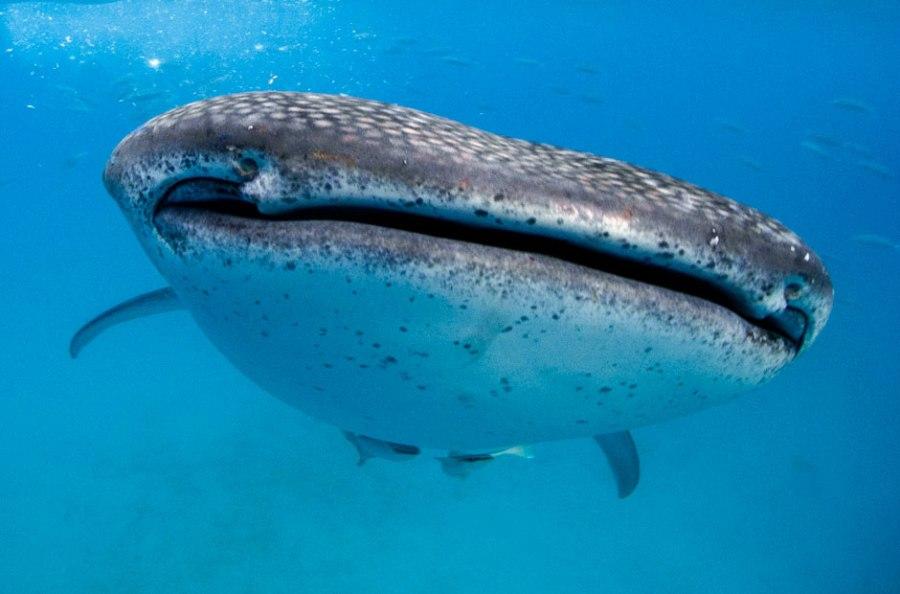 Китовая акула - мирное животное
