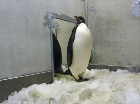 Пингвина с почестями отправили домой