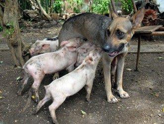Поросята предпочли молоку матери молоко собаки