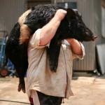 Охота на диких кабанов в Silver Plains Station в Австралии