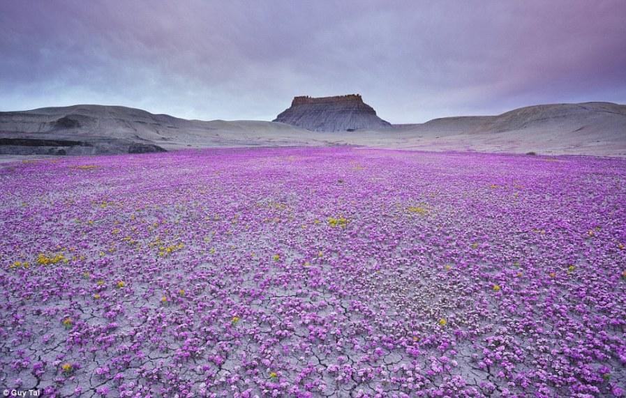 Фиолетовый жалящий ковер из сорняков в пустыне Мохаве штата Юта