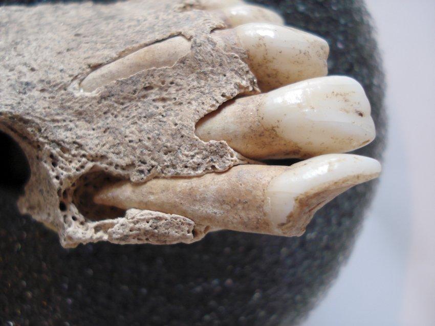 Деталь нижней челюсти