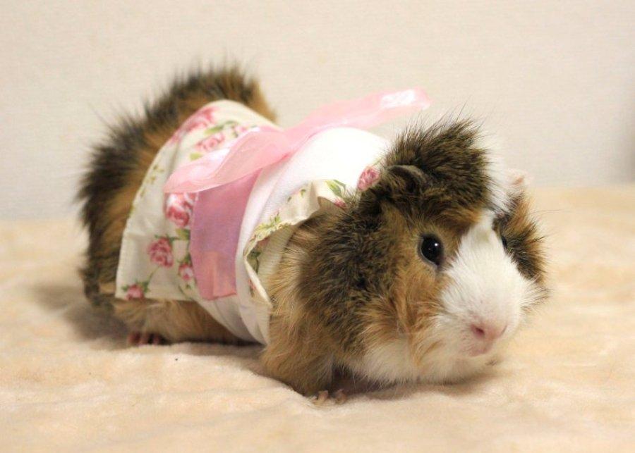Мода для морских свинок