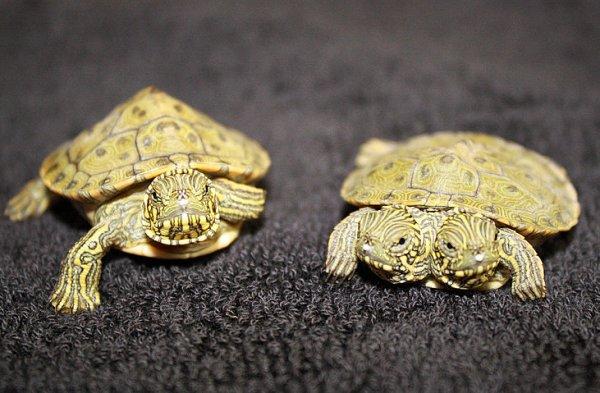 Персонал зоопарка дал черепашке двойное имя - Тельма и Луиза