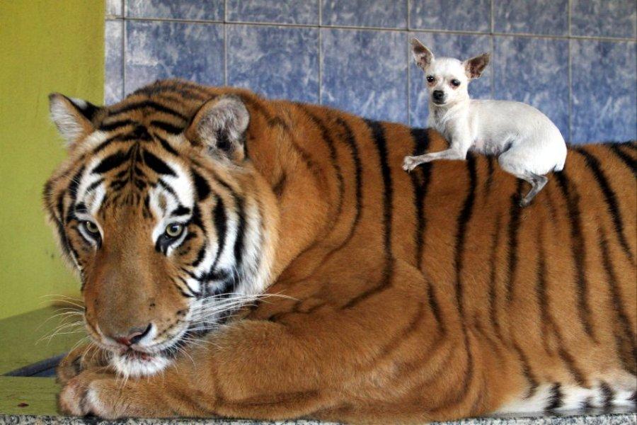 Домашние тигры