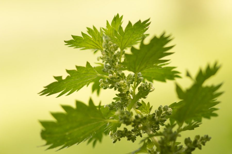 лекарственные травы - крапива